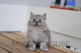 Kitten Kucing Persia longhair medium flatnose himalaya ragdoll 9