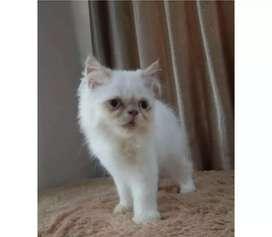 Kucing peaknose longhair putih