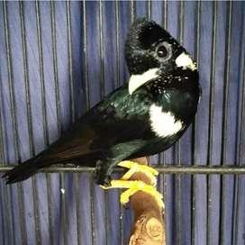 Burung Raja Perling