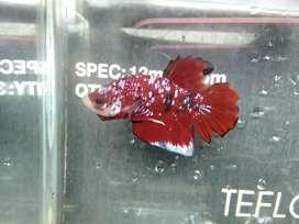 Ikan cupang avatar red galaxy