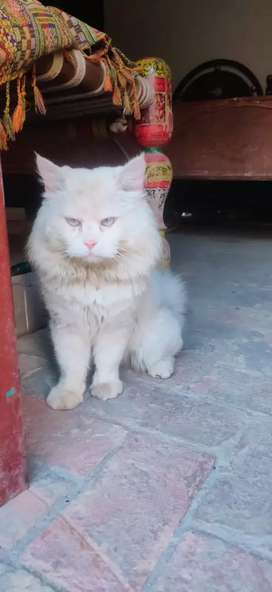 Sale for beautiful cat
