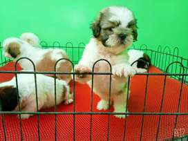 Top quality Shihtzu pups