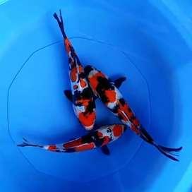 Jual ikan koi HQ koleksi pribadi, pola warna istimewa
