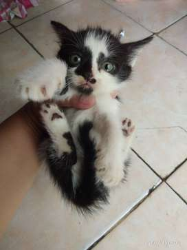 Kucing persia mixdome