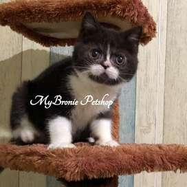 Kucing kitten exotic shorthair peaknose