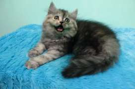 Kucing kitten persia silver (harga nett)