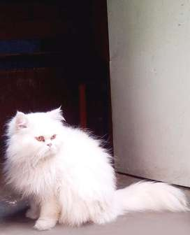 Persian cat male for matting