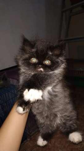 Kucing Kitten Persia Flatnose