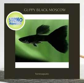 Ikan Hias Guppy Black Moscow Sepasang