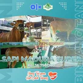 Jual Sapi Madura Super - Sapi Qurban Berkualitas Bogor