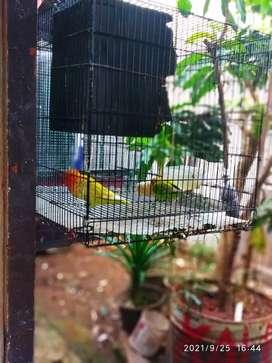 Jual burung love bird  kondisi bagus dll