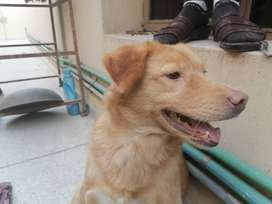 Golden Retriever (Mixed Breed) for Sale!