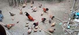 Ayam Kate pilihan