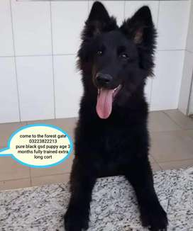 pedigree pure black gsd puppy available urgently for sale