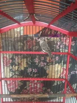 Burung sanger gacor