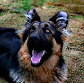Long Haired German Shepherd For Sale