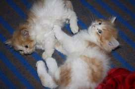 Loving Playful Persian Kittens and Cats Available