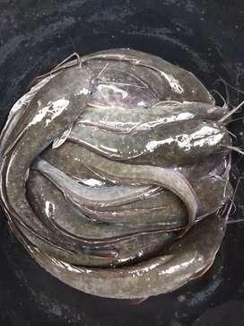 Jual ikan lele konsumsi