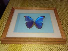 Real Giant Blue Morpho Butterfly Wall hanging Frame for sale