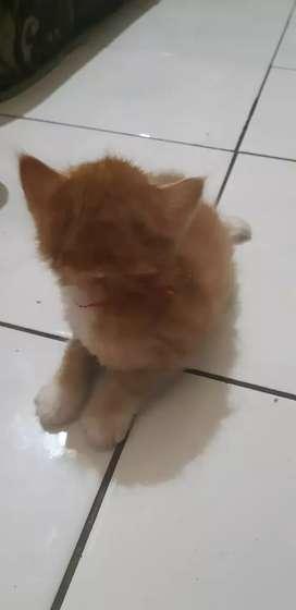 Kucing persiaa lucu