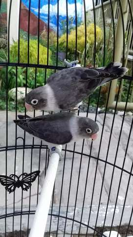 Lovebird ewing vio perso