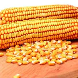 Maize grains and maize feeds for sale