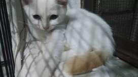 Free addopt kitten Domestic+Himalaya