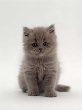 Persian cat all type available 8000 starting price