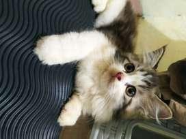 Kitten persia 3 bulan