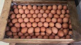 Agen telur murah Surabaya barat