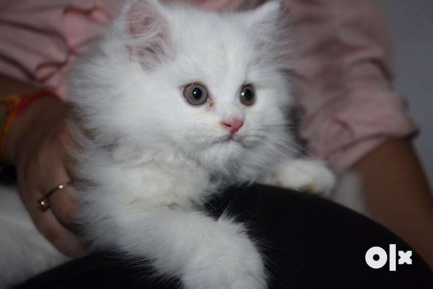 Triple Coated Persian Kittens and Cats for Sale 0