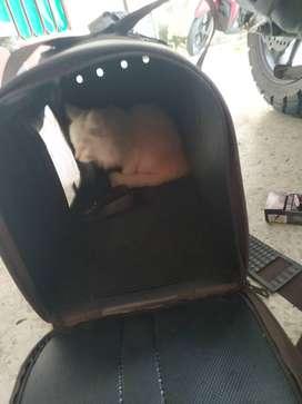 Kucing Persia jantan umur 3 bln