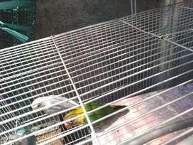 Burung love bird sepasang