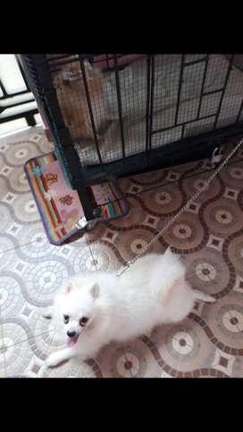Jual anjing pom jantan warna snow white bulu tebal siap love.stbn.