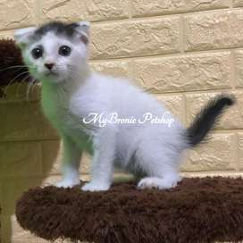 Kucing kitten scottish fold jantan black van