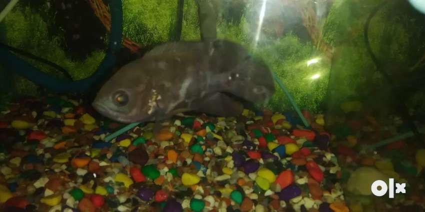4.5 inch Local Oscar fish 0