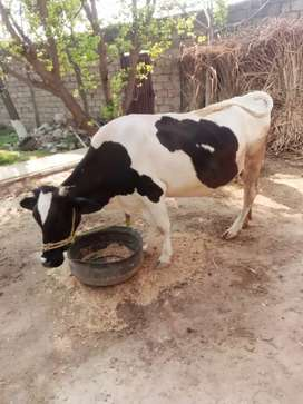 Ovrigional young prezan cow. Price 200000 rupees only