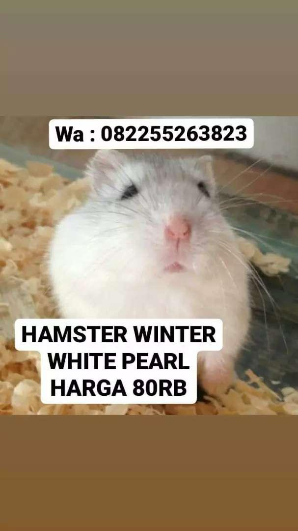Hamster Winter White Pearl Cantik 0