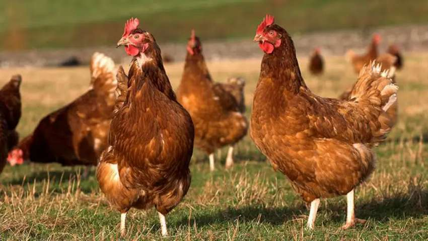 Hens  are available their . 0