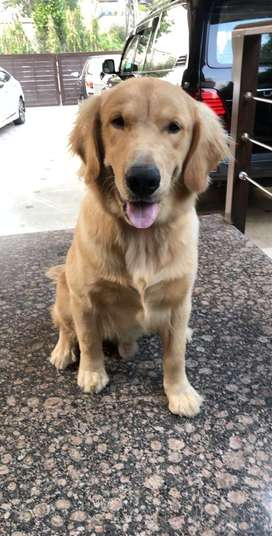 Male Golden Retriever, 8 months old, pedigreed