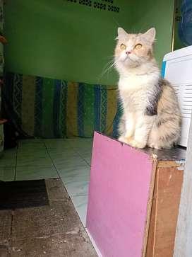 Persia + kitten