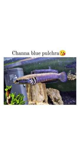Ikan Channa blue pulchra