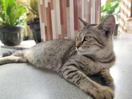 Kucing Persia x dosmestik