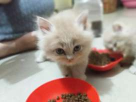 Persian  kittens off white 2 month