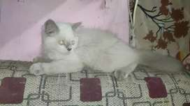 3 kitten available pure white cat