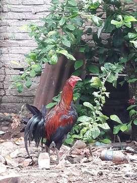 Ayam pure peru navajaero