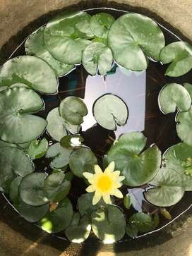 Lotus water lilly plant for sale