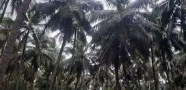 4 acra's coconut farm land sale