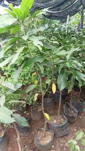 Bibit pohon buah manggah