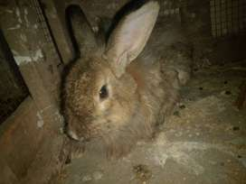 Rabbits for  sale in  emergency 5 rabbits for 4000